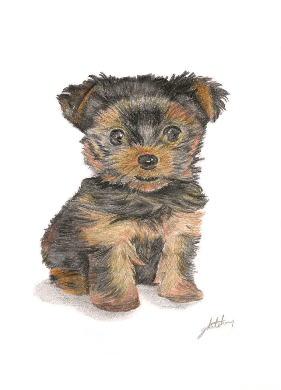 923x1280 Yorkshire Terrier Puppy, A4 Coloured Pencil Drawings Amp Paintings
