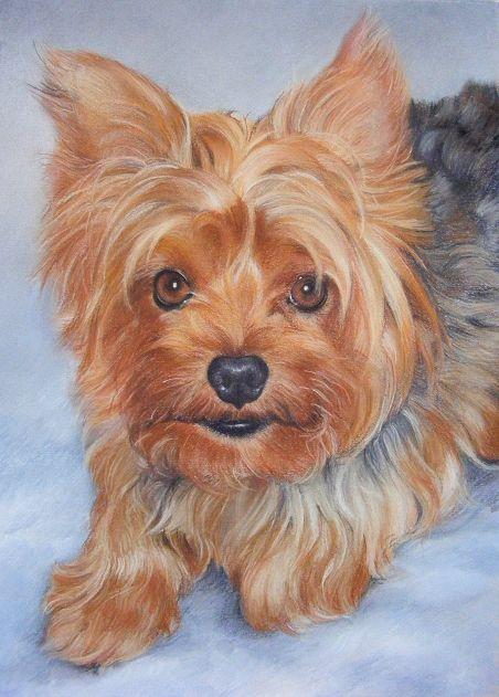 452x631 Dexter, Yorkshire Terrier, Pastel Portrait By Katrina Ann Fotos