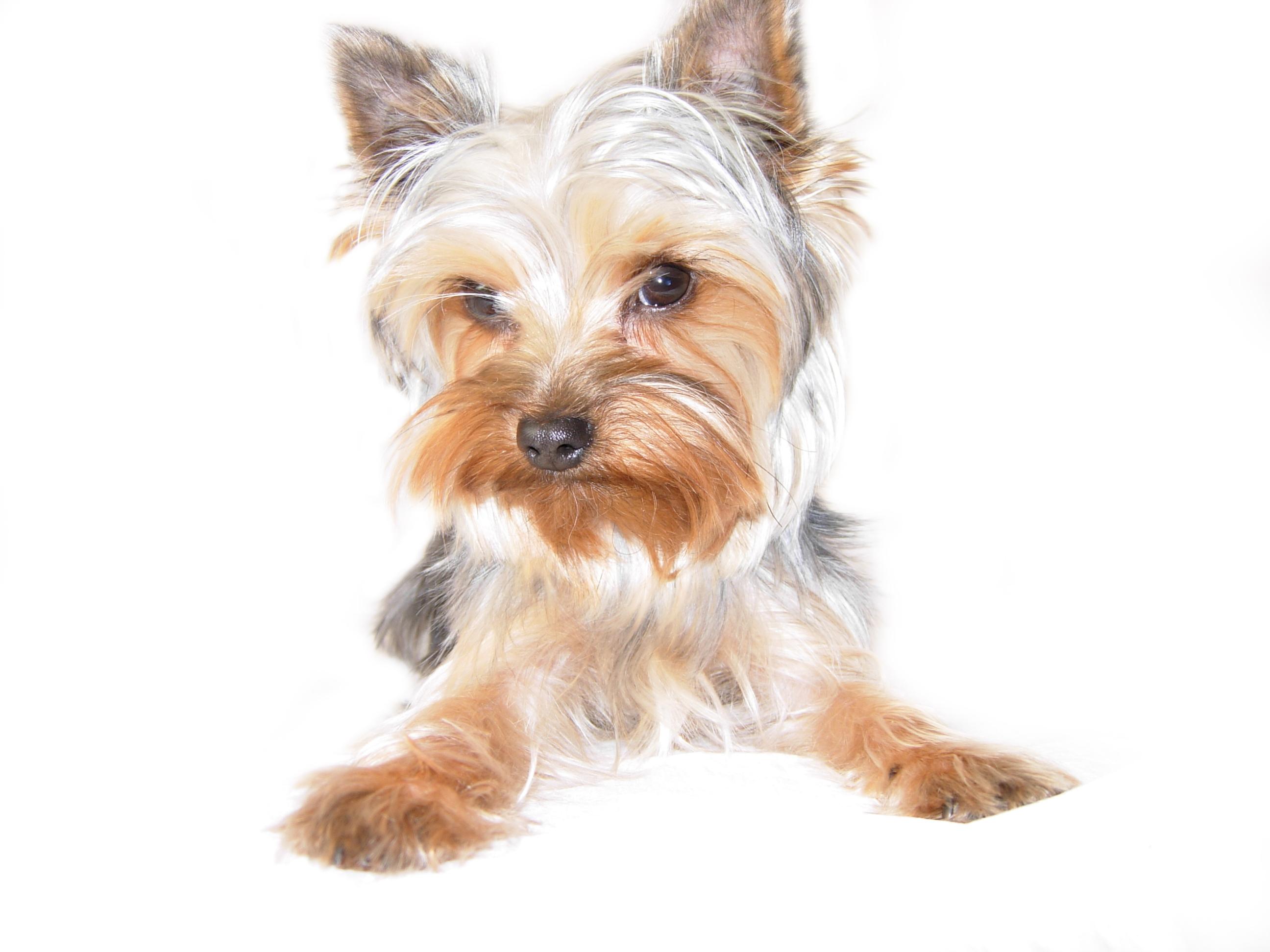 2592x1944 Looks Just Like Faith Ann Yorkshire Terriers