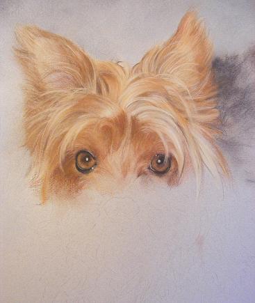 367x435 Pet Portraits Yorkshire Terrier