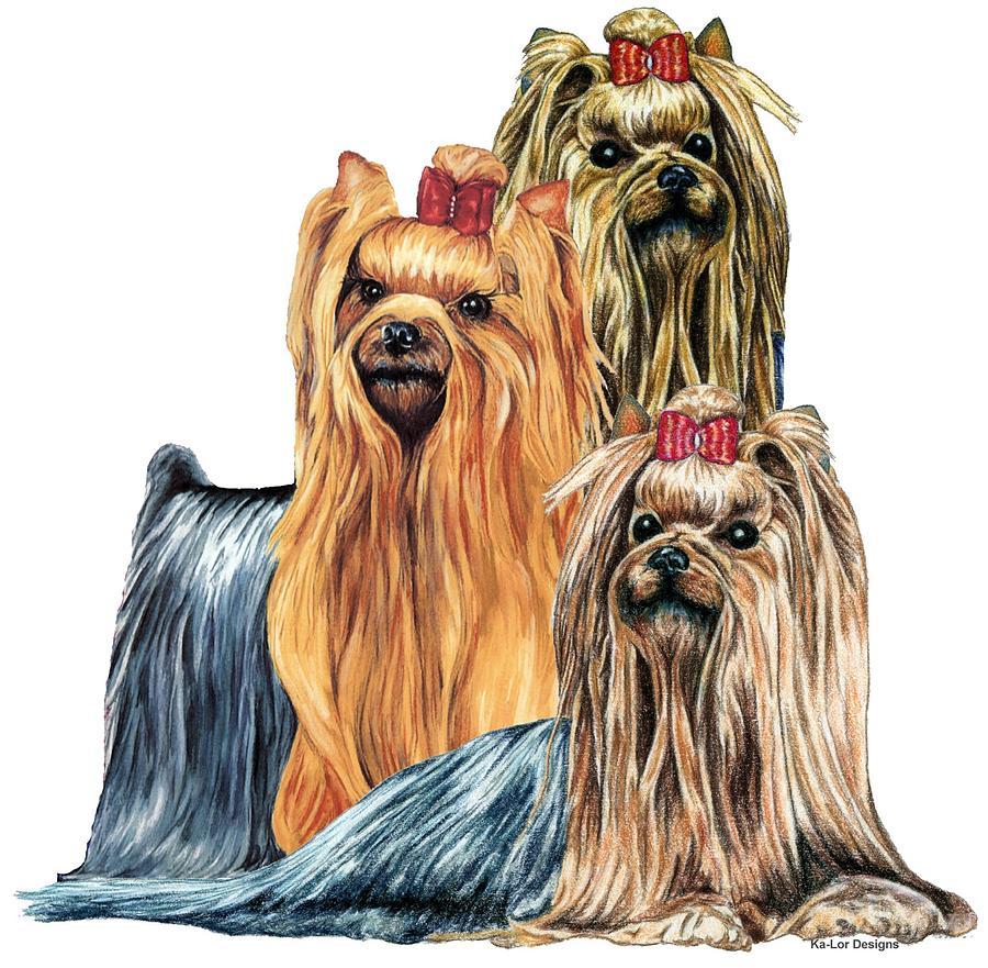 900x881 Yorkshire Terriers Drawing By Kathleen Sepulveda