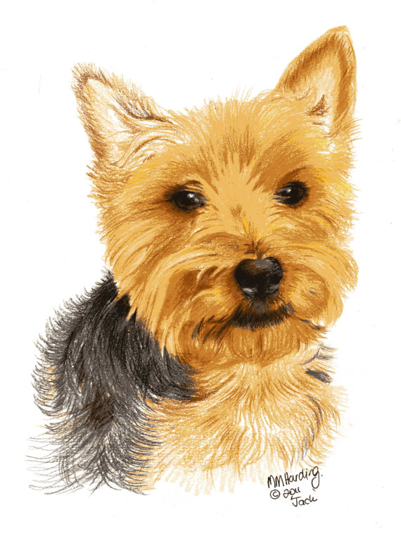 570x758 Drawing Of A Yorkieyorkshire Terrier Drawing Coloured Pencil