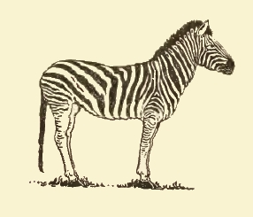 286x245 Simple Zebra Drawing