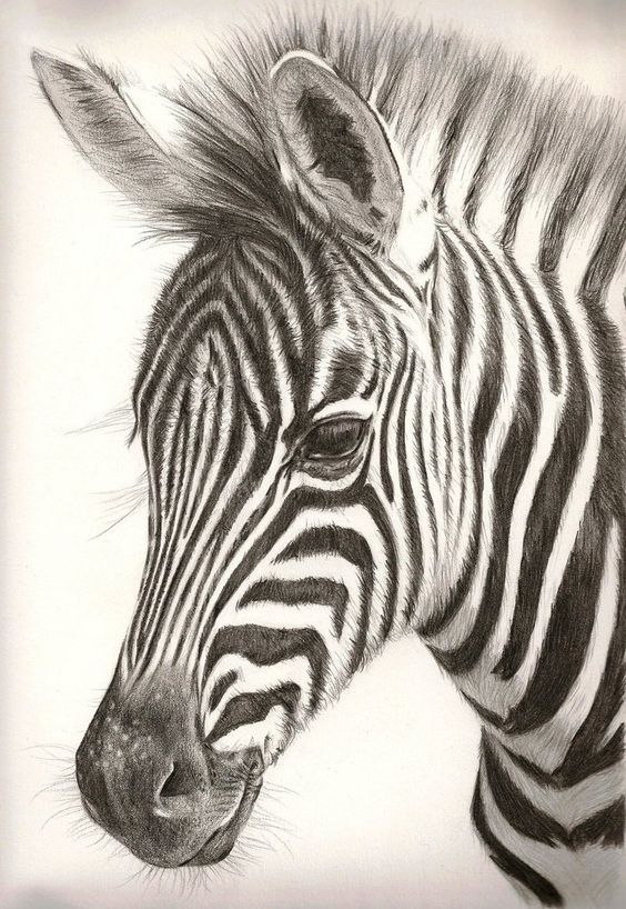 564x818 colored pencil zebra drawing