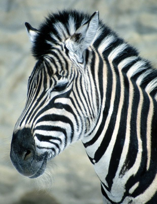 618x800 14 Best Drawing Projects Images On Zebras, Drawing