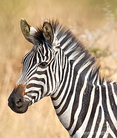 408x480 Zebra Face