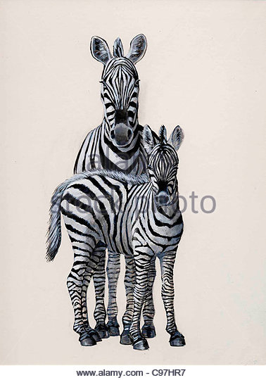378x540 Drawing Of Zebras Stock Photos Amp Drawing Of Zebras Stock Images