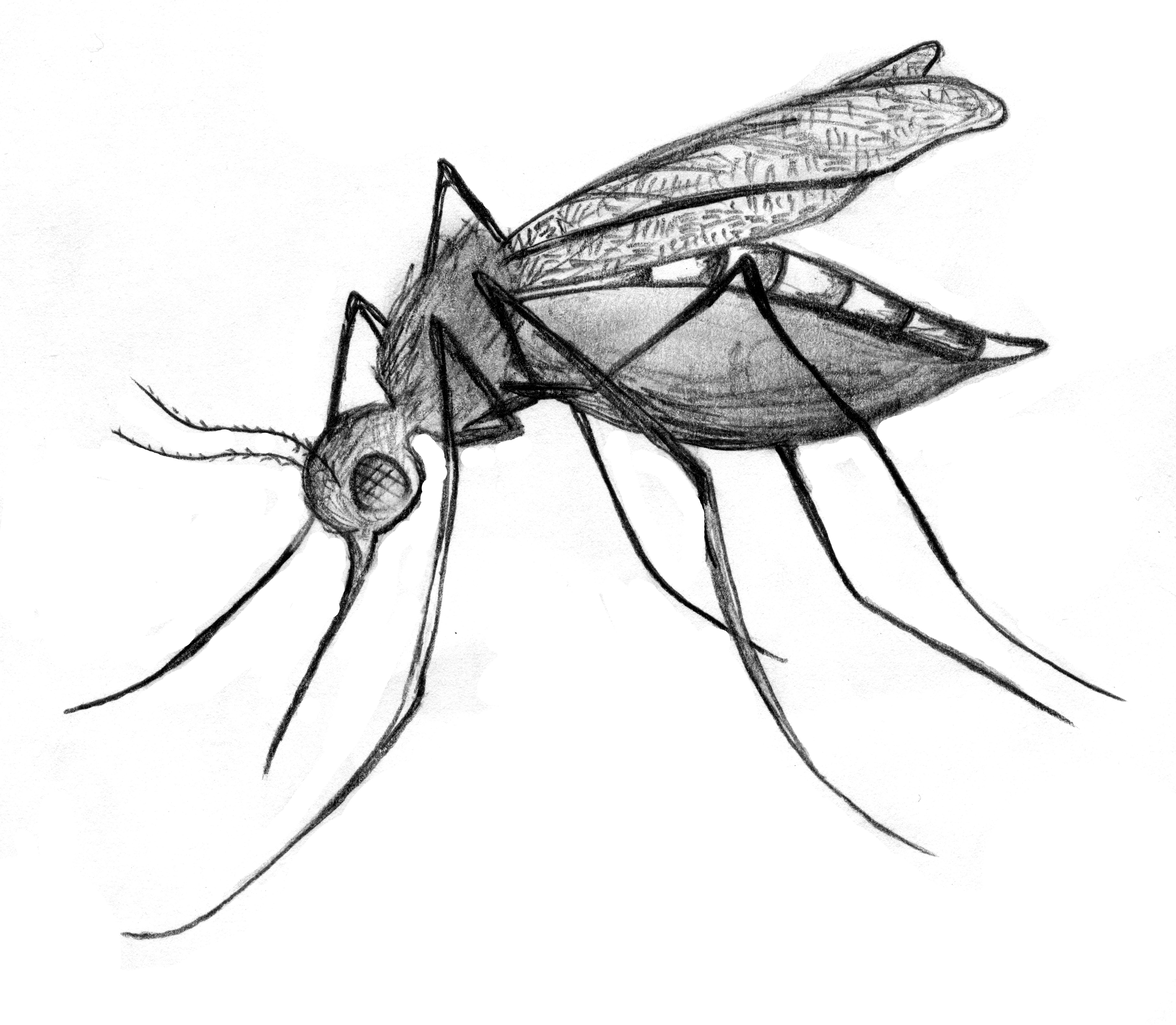 5784x5040 Images For Gt Culex Mosquito Drawing Spirit Animals