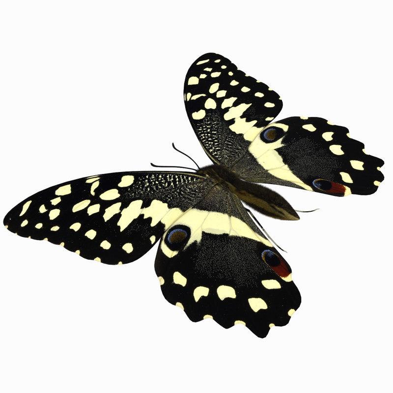 800x800 Citrus Swallowtail Butterfly