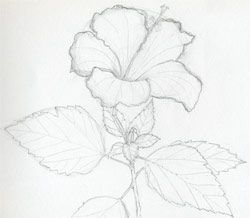 250x218 Simple Drawings Of Hibiscus Flowers ~ Mulberry Sketch,art