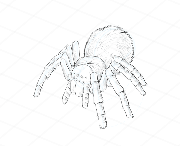 600x486 How To Draw Animals Spiders, Popular Species, Anatomy And Movement