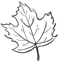 236x243 How To Draw Simple Leaves How To Draw Leaves