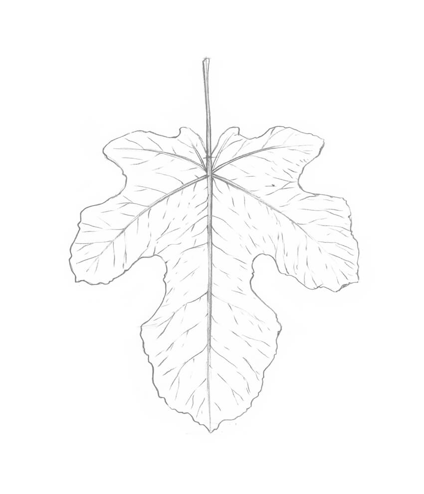 850x990 How To Draw A Leaf Step By Step