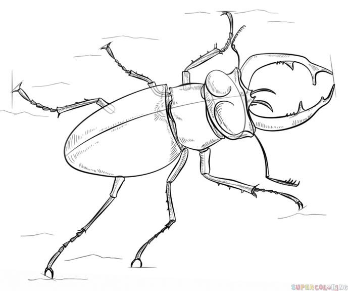 689x575 How To Draw A Stag Beetle Step By Step Drawing Tutorials