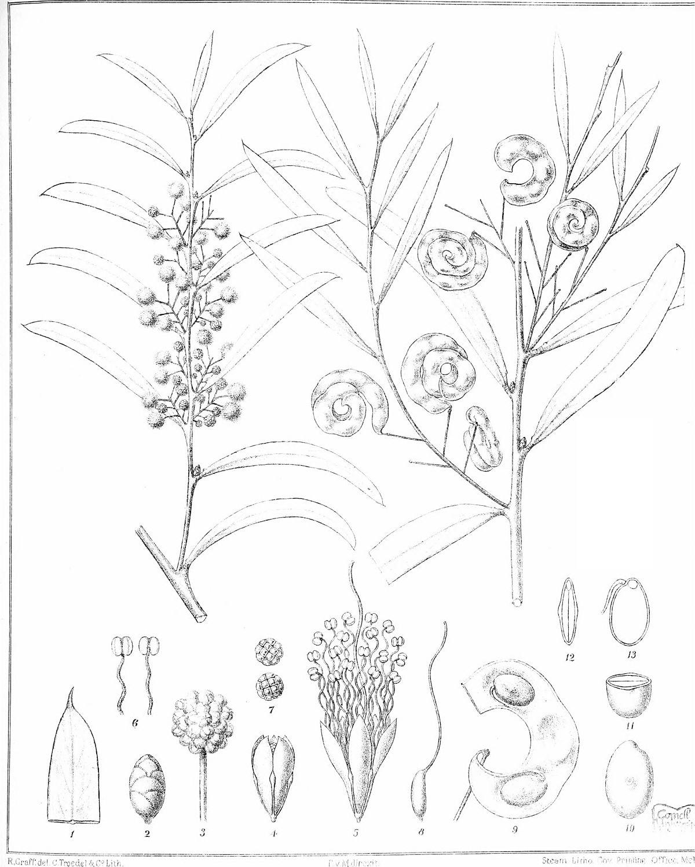 1200x1500 Acacia Hemiteles