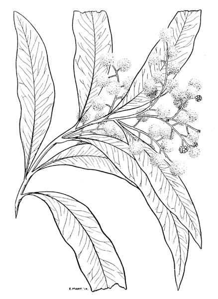 438x600 Eirene Mort's Acacia Illustrations