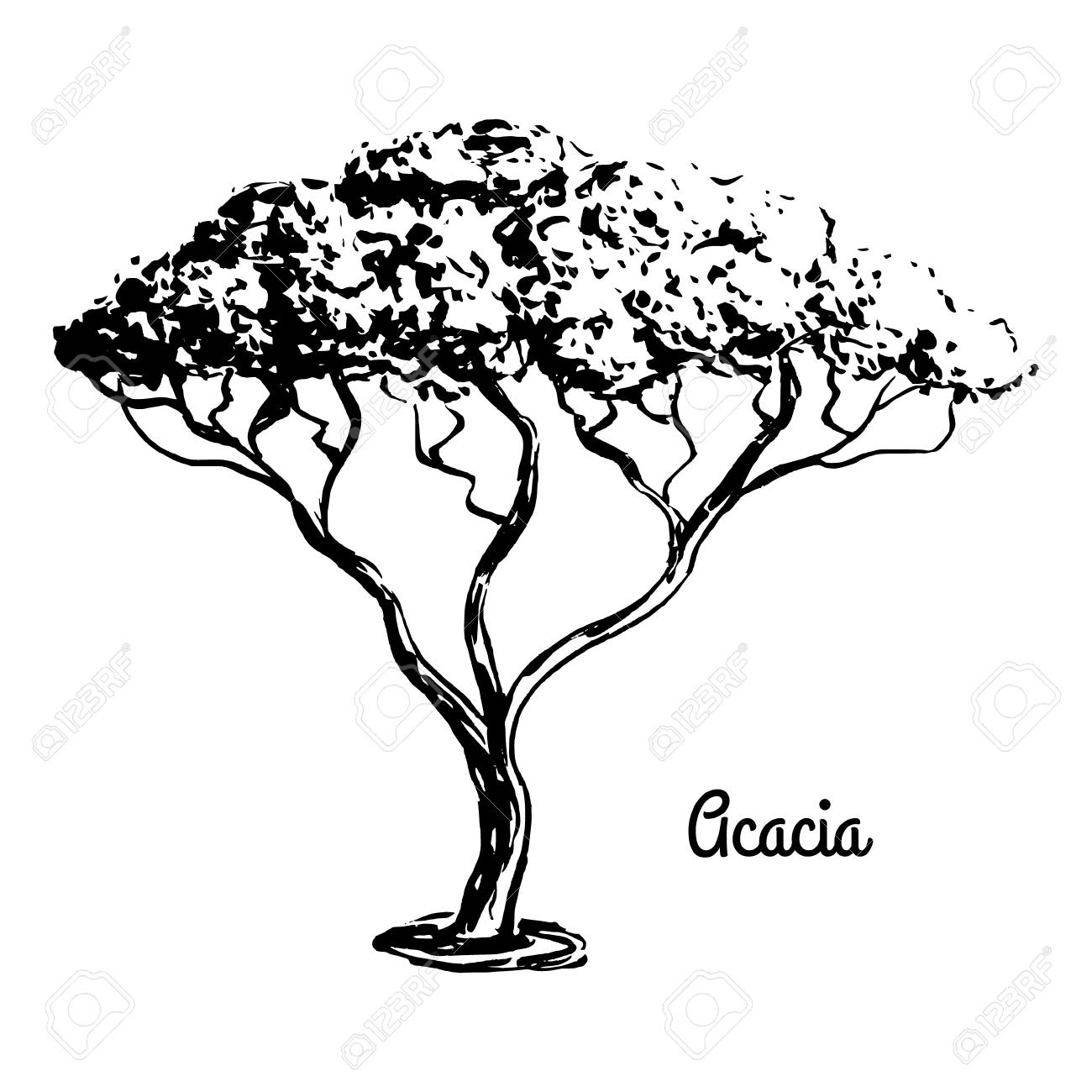1300x1300 Vector Sketch Illustration. Black Silhouette Of Acacia Isolated