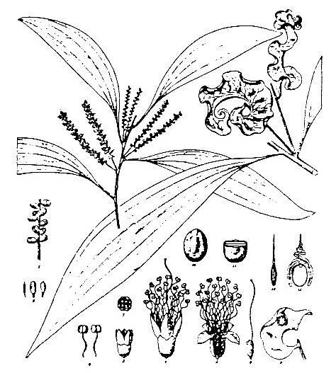 474x527 Acacia Auriculiformis Factsheet