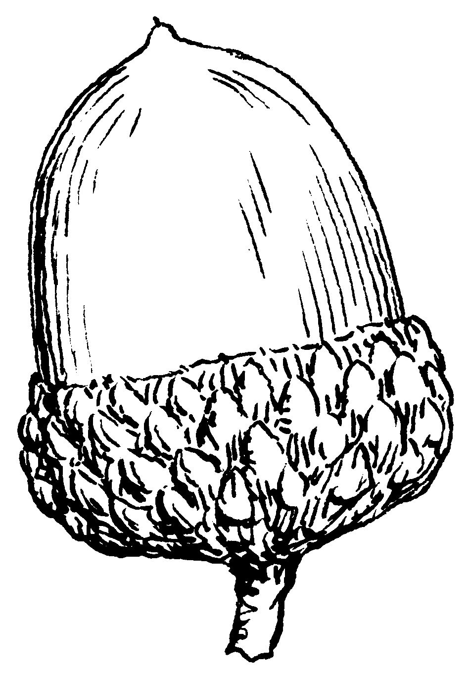 Acorn Drawing at GetDrawings.com | Free for personal use Acorn ...