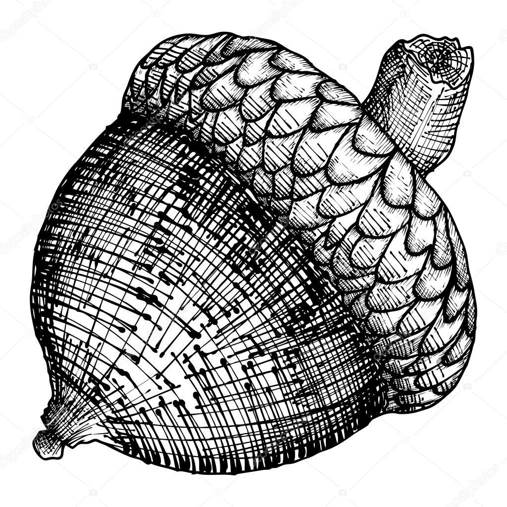 1024x1024 Hand Drawing Acorn Sketch Stock Vector Goldenshrimp