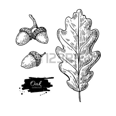 450x450 Vector Oak Leaf And Acorn Drawing Set. Autumn Elements. Hand
