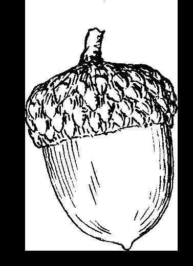 377x521 Acorn Drawing