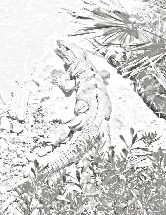 570x737 Iguana Sunning