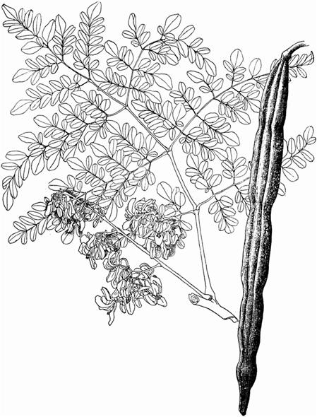 449x590 14 Moringa Lost Crops Of Africa Volume Ii Vegetables