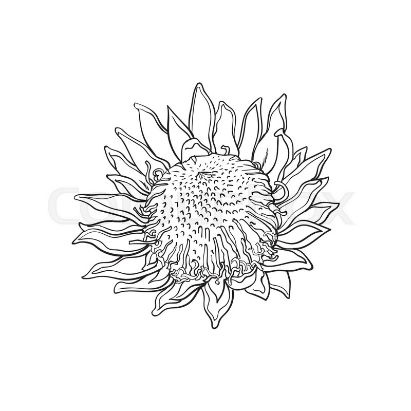 800x800 Single King Protea, Sketch Style Vector Illustration Isolated