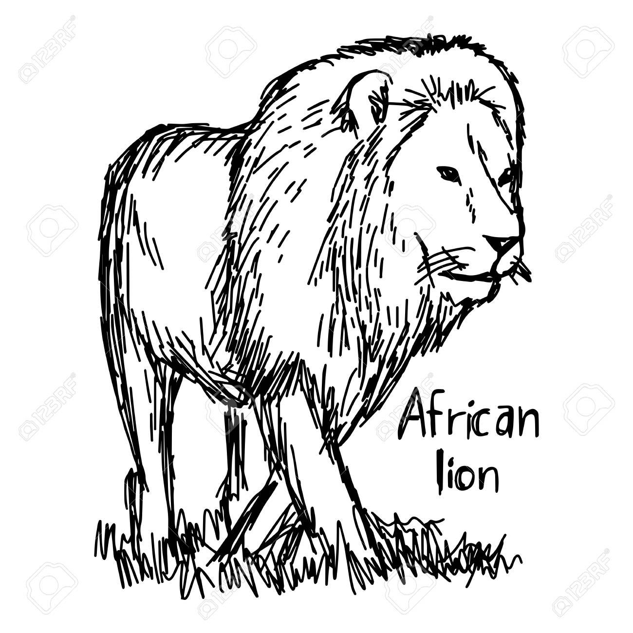 1300x1300 African Lion Walking