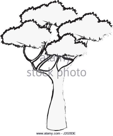 450x540 African Oak Tree Stock Photos Amp African Oak Tree Stock Images