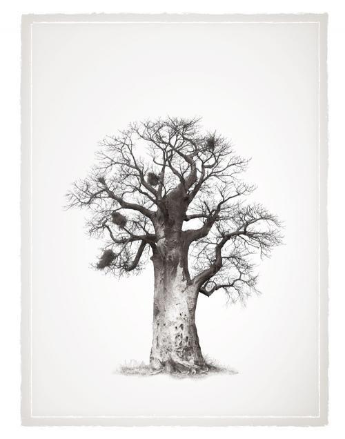 500x636 Baobab Tree Klaus Tiedge Legacy Baobab Series Landscape