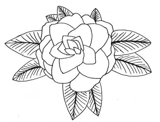 520x397 How To Draw A Camellia Camellia Coloring Pages And Printables