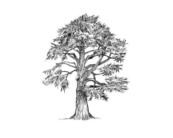 736x588 Leaning Pine, Alamo Sq., S.f. Artwork Artwork