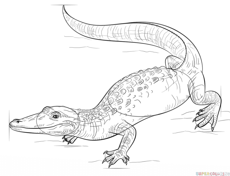 754x575 How to draw a realistic alligator Step by step Drawing tutorials