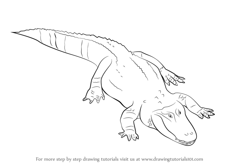 800x566 Learn How to Draw a Alligator (Reptiles) Step by Step Drawing
