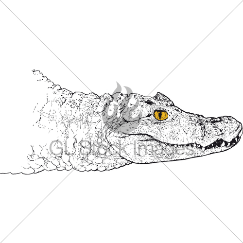 500x500 Crocodile Head Gl Stock Images