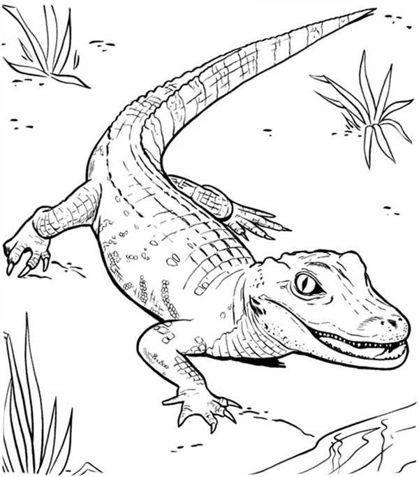 600x683 Drawn Crocodile Colouring