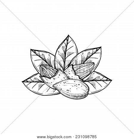 450x470 Almond Images, Illustrations, Vectors