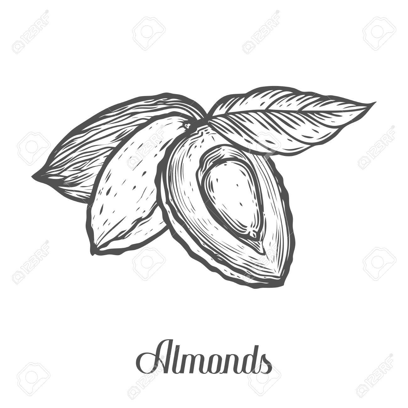 1300x1300 Almond Nut Seed Vector. Isolated On White Background. Almond