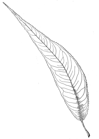 340x480 Almond Willow Leaf Coloring Page Free Printable Coloring Pages