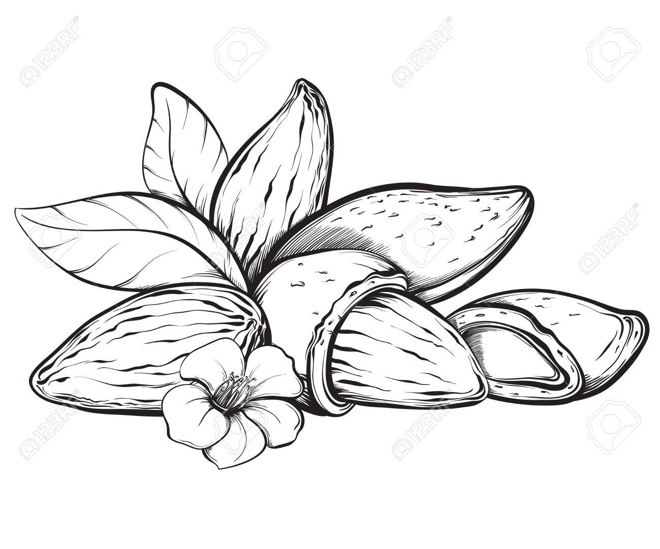 1300x1081 Almonds. Hand Drawn Sketches Vector Illustration On White