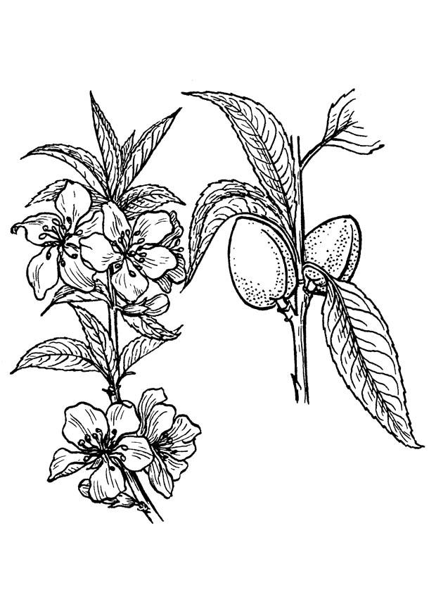 620x875 Coloring Page Almond Tree