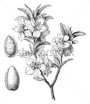 379x440 Vintage Almond Blossom Botanical Drawing