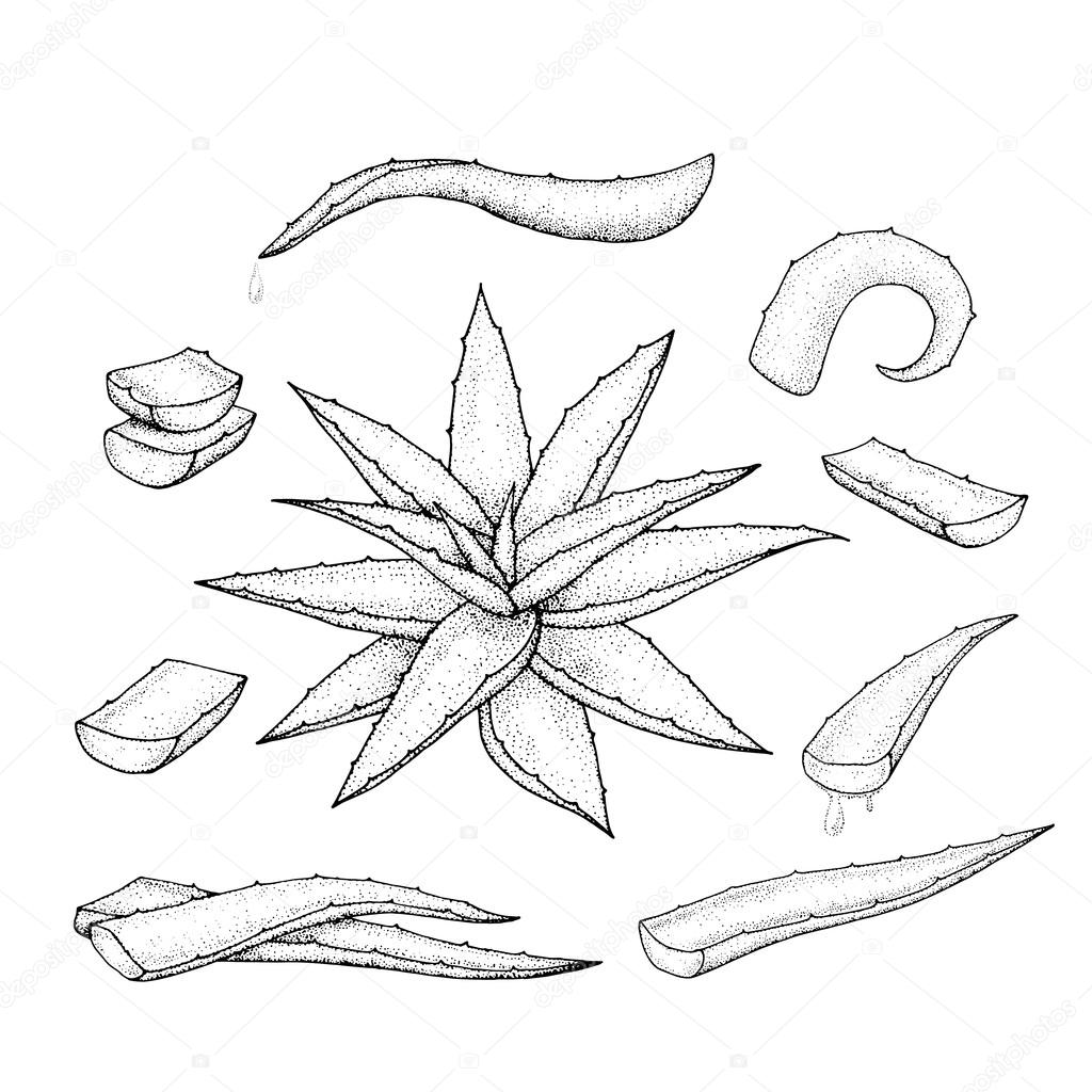 1024x1024 Aloe Vera Hand Drawn Set. Stock Vector Ninafedorova