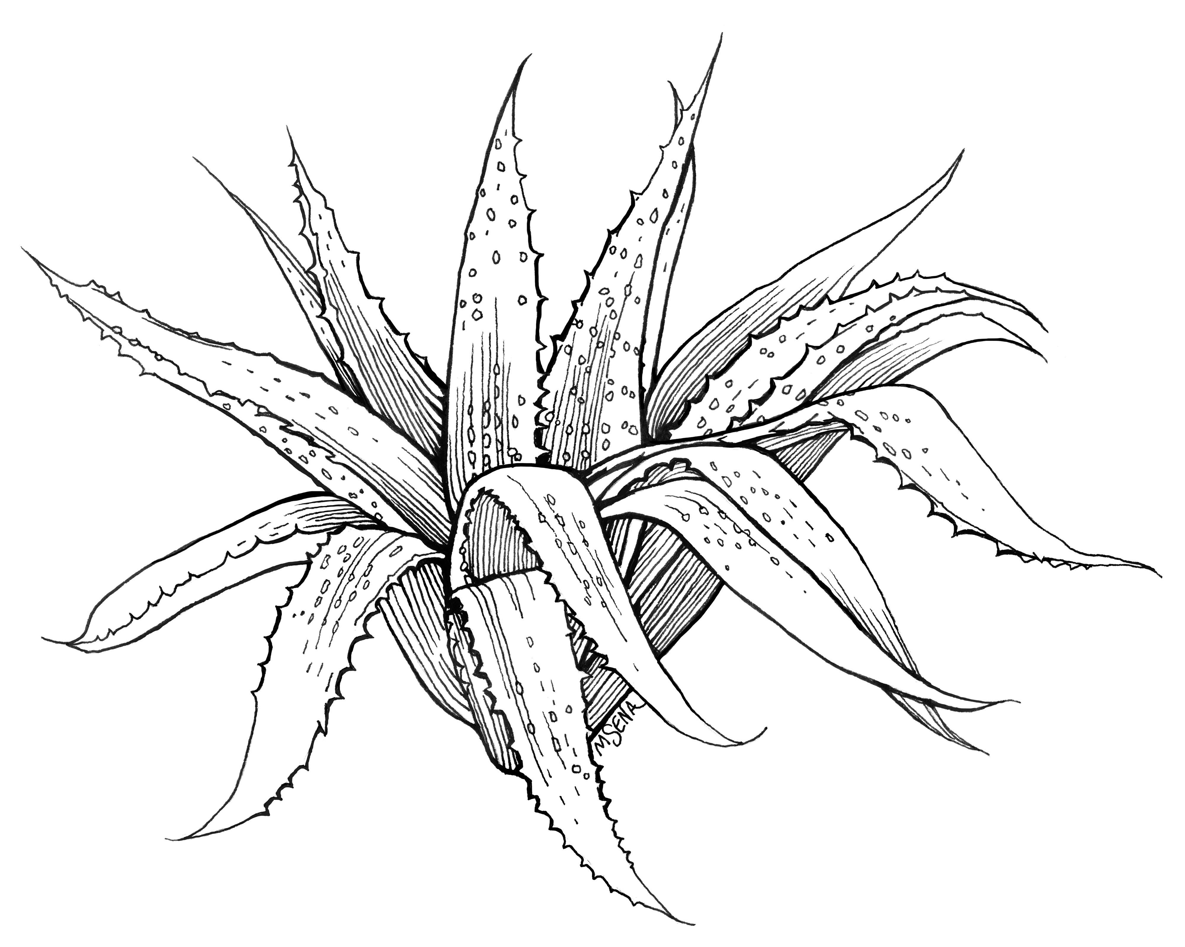 4000x3197 Aloe Plant Incredible Doodles