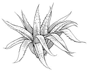300x240 Aloe.png