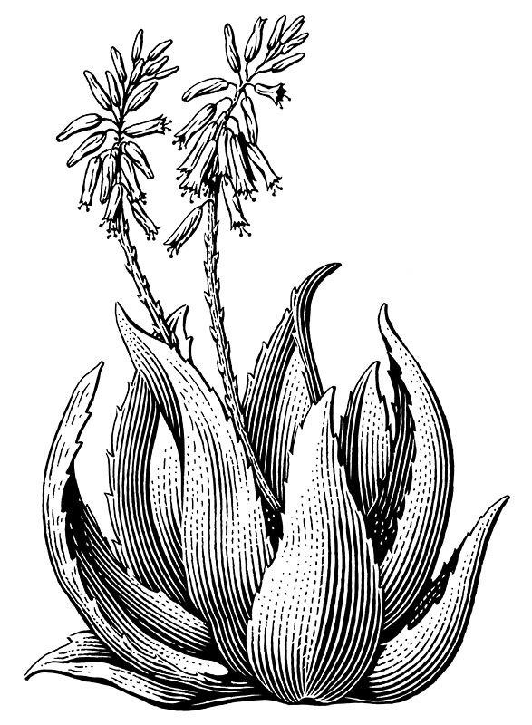 587x800 Aloe Plant