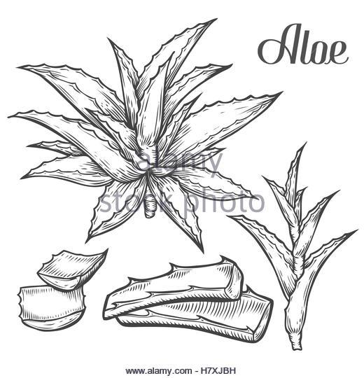 520x540 Aloe Vera Black And White Stock Photos Amp Images