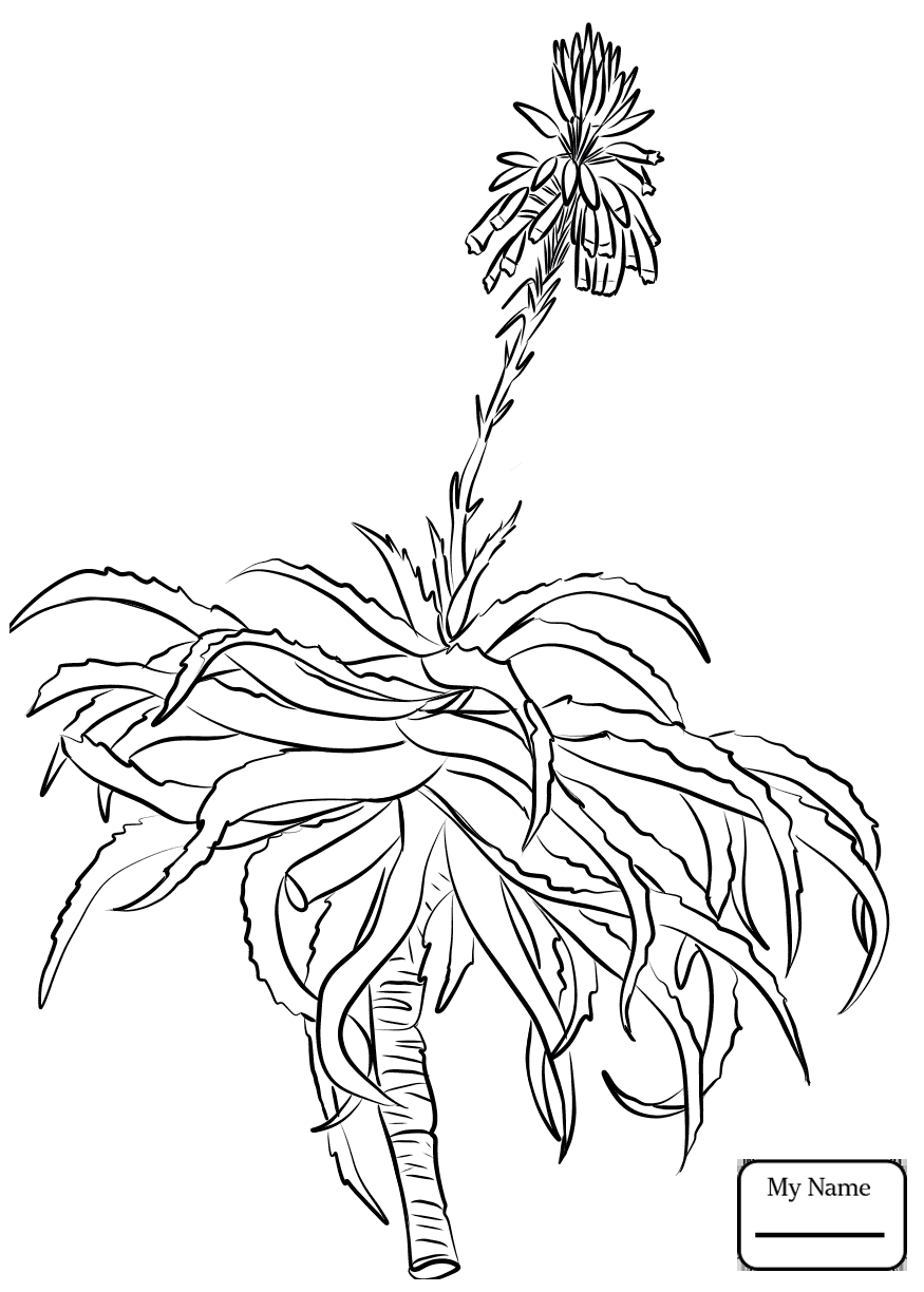 875x1224 Coloring Pages For Kids Flowers Aloe Barbadensis Miller Or Aloe
